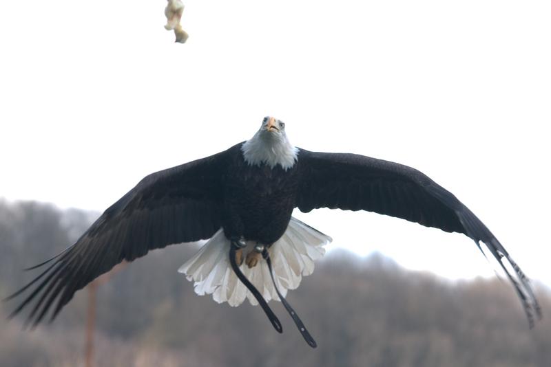 Adler fängt Beute aus der Luft