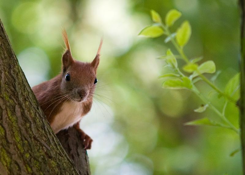 Eichhörnchen I