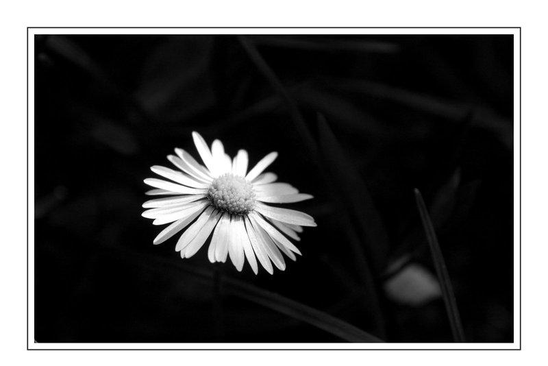 Gänseblumchen (Bellis perennis)