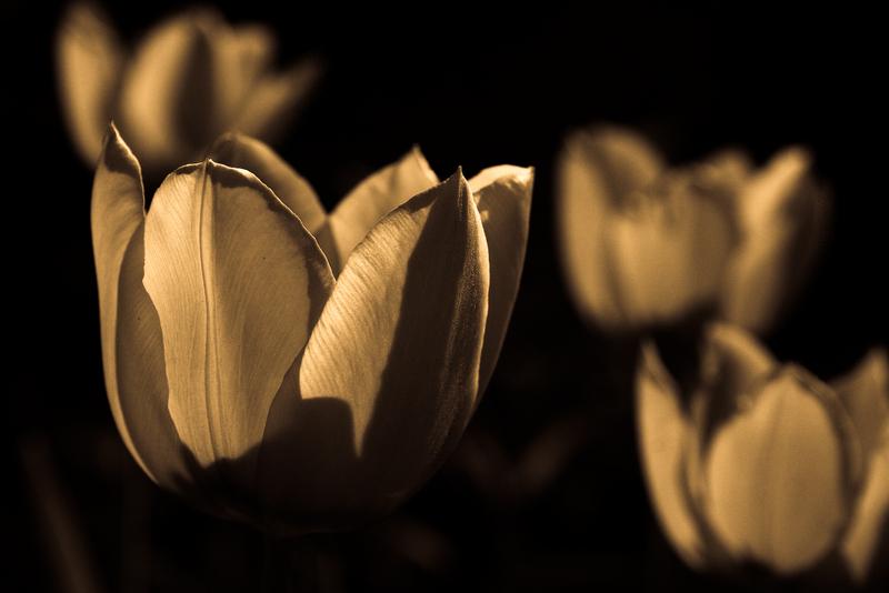 Tulpen im Streiflicht am Ernst Reuter Platz